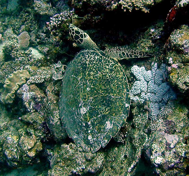 hawksbill colorful shell  camouflage in the coral reefs