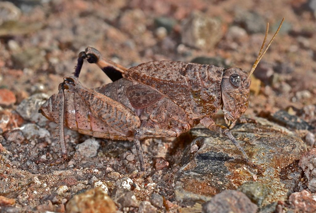 Grasshopper camouflage on the red soil