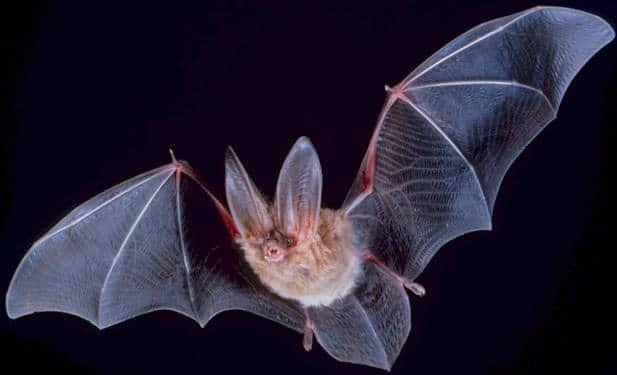 bat a mammal adapted for flying