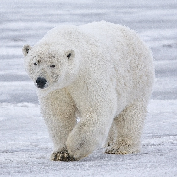 polar bear body adapted for low temperature