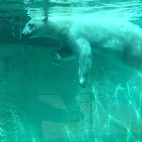 polar bear doing dog paddling to swim and dive